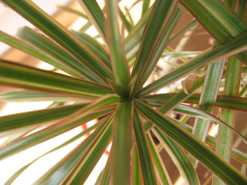 Dracaena marginata / драцена облямована