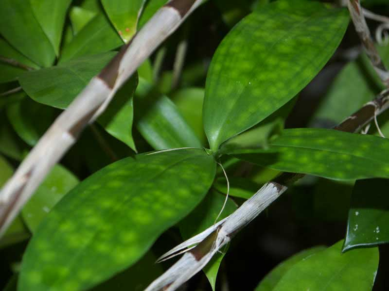 Dracaena surculosa / драцена пагоноутворююча