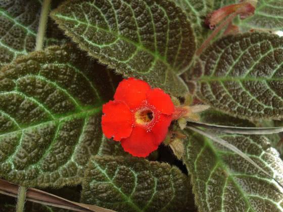 Episcia cupreata / эписция медно-красная