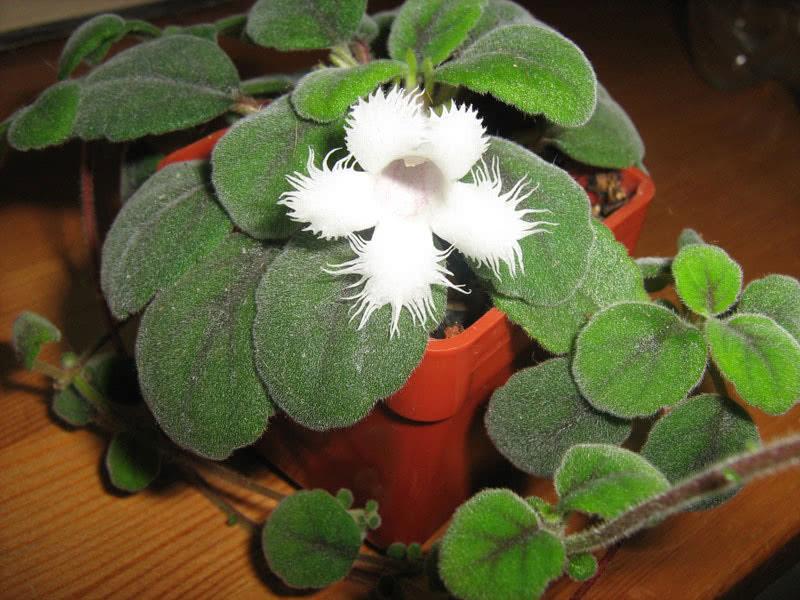 Episcia dianthiflora / эписция гвоздикоцветная