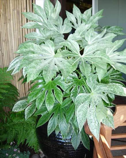 Fatsia japonica (Aralia japonica) / Фатсія японська (Аралія японська)