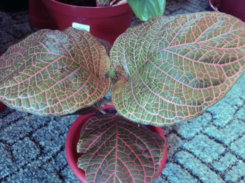 Fittonia gigantea / Фіттонія велика