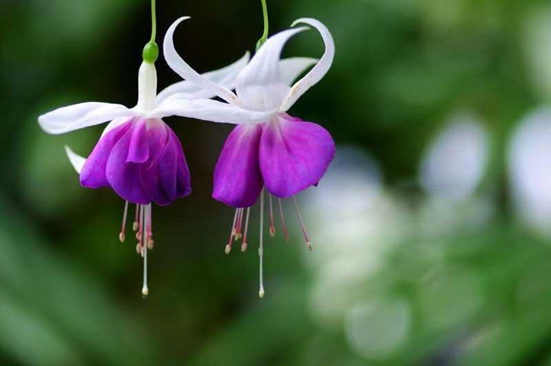 Fuchsia corymbiflora / фуксія щитоподібна