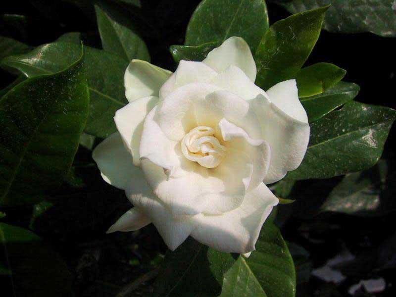 Gardenia jasminoides / гарденія жасминоподібна (Августа)