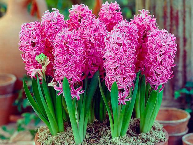 Гиацинт Pink Pearl