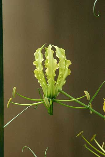 Gloriosa simplex / глоріоза проста