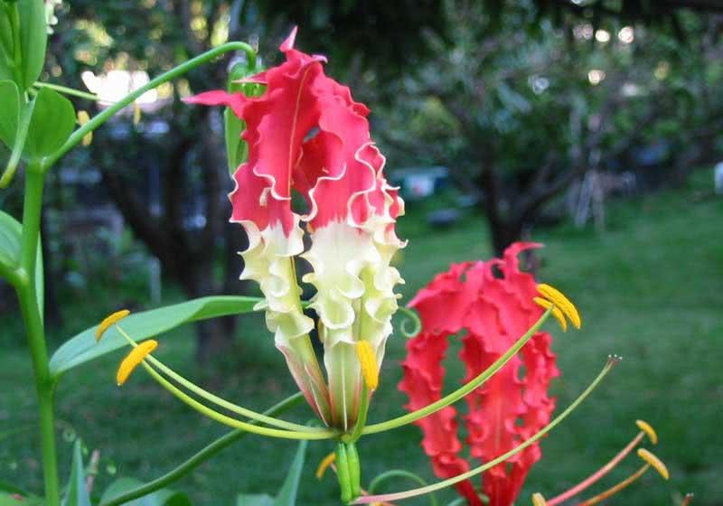 Gloriosa superba / глоріоза розкішна