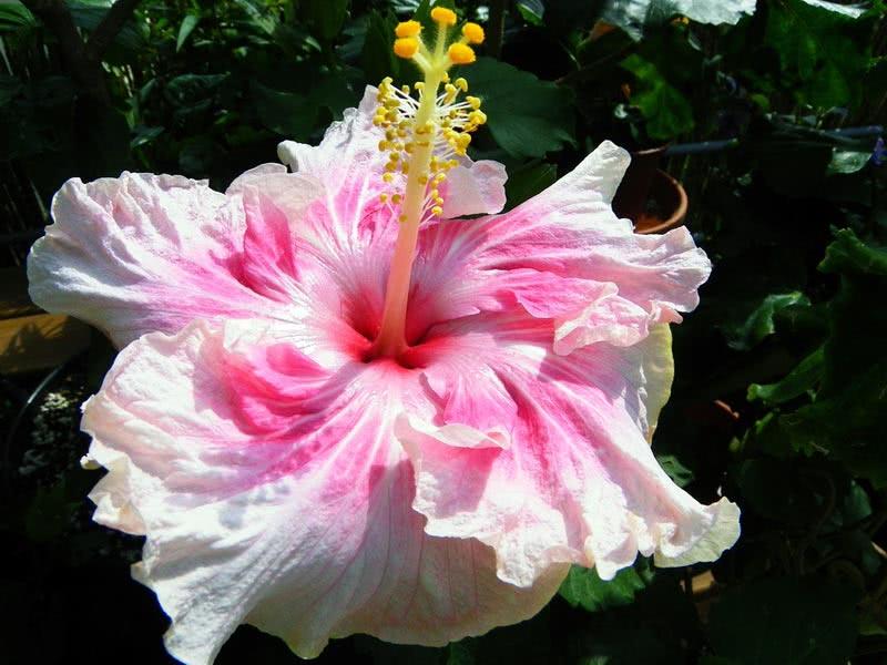 Hibiscus rosa-sinensis / гібіскус китайський (Китайська Троянда)