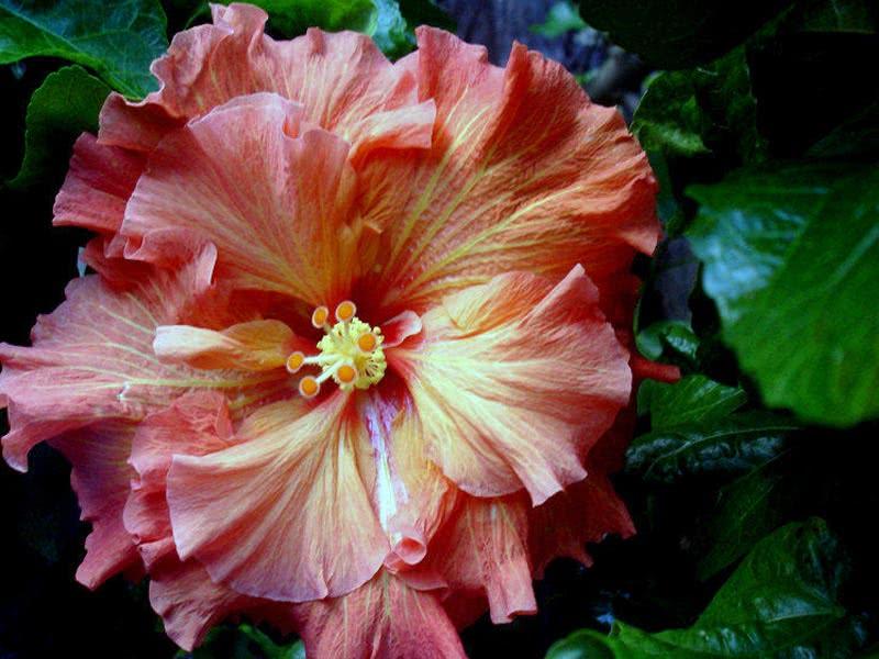 Hibiscus scizopetalus / гібіскус розсіченопелюстковий