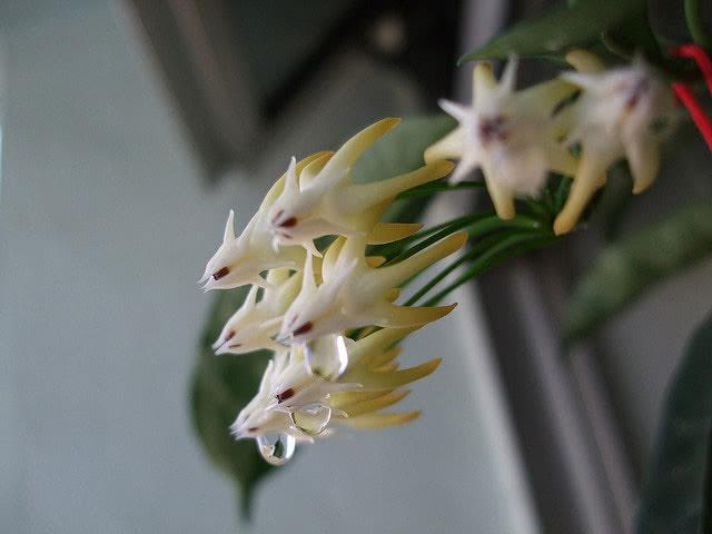 Hoya multiflora / Хойя багатоквіткова