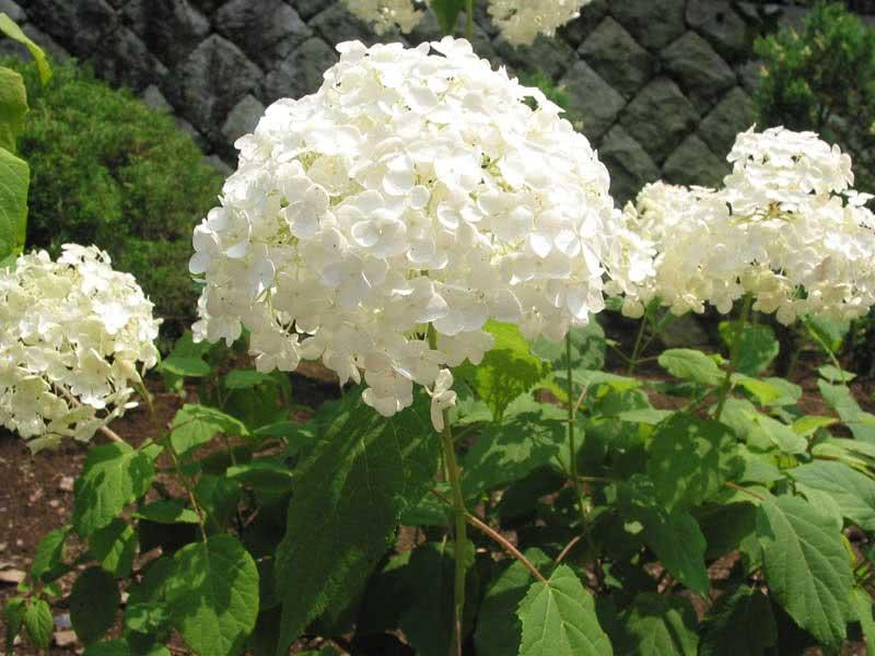 Hydrangea arborescens / гортензія деревоподібна