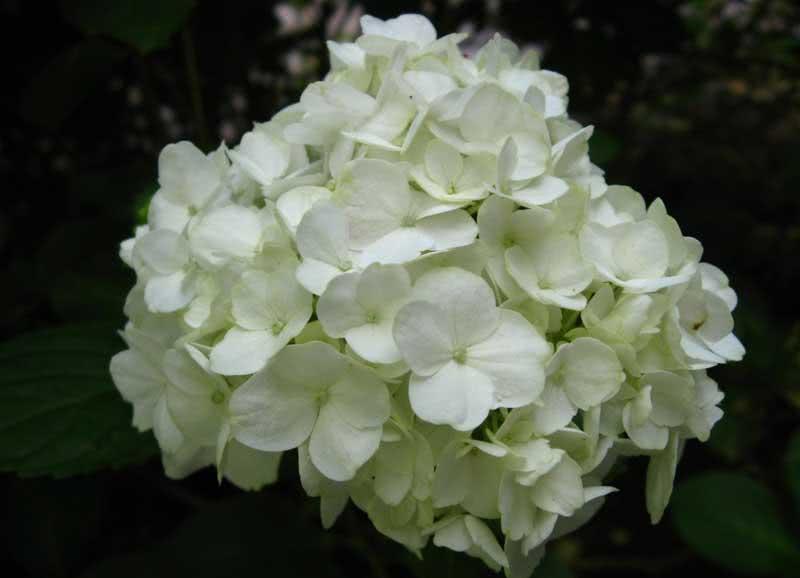 Hydrangea macrophylla / гортензія садова (крупнолиста)