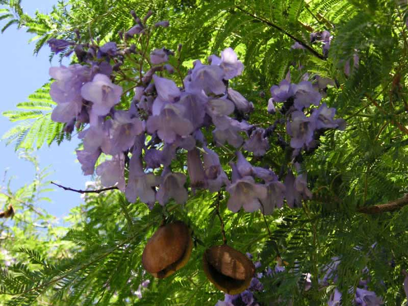 Jacaranda mimosifolia (ovalifolia) / жакаранда мімозолиста (овальнолиста)