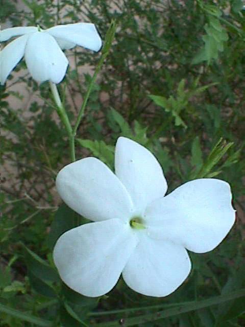 Jasminum grandiflorum / жасмин великоквітковий