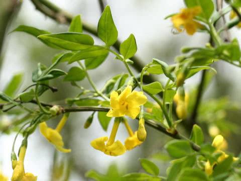 Jasminum humile / жасмин низький