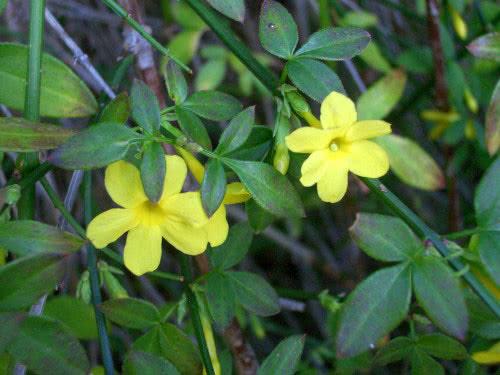 Jasminum nudiflorum / жасмин голоквітковий
