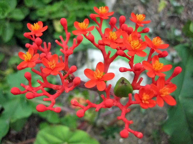 Jatropha podagrica / ятрофа подагрическая