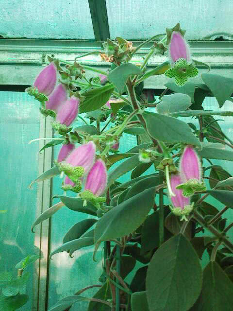 Kohleria digitaliflora / колерія наперстянкоквіткова