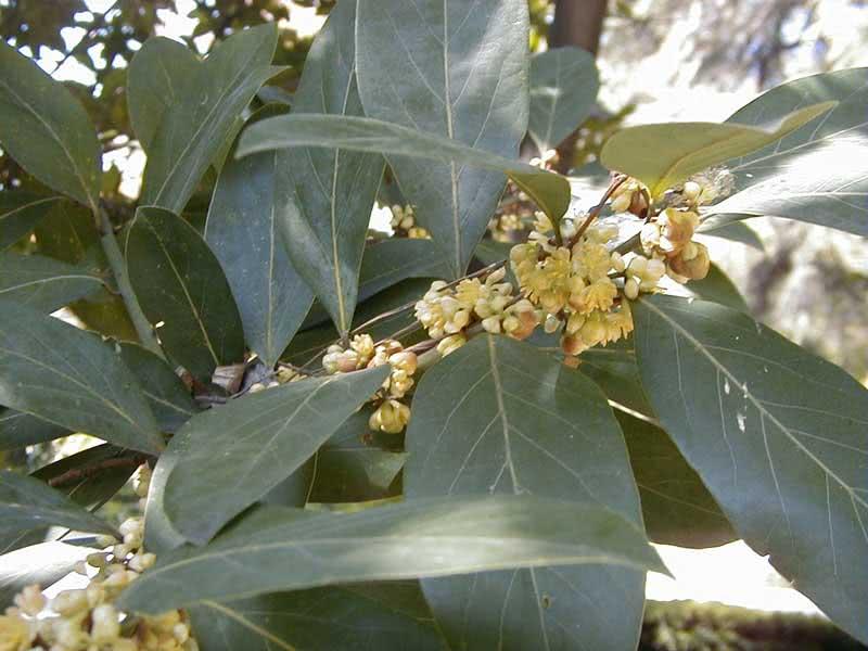 Laurus azorica (canariensis) / лавр азорский (канарский)