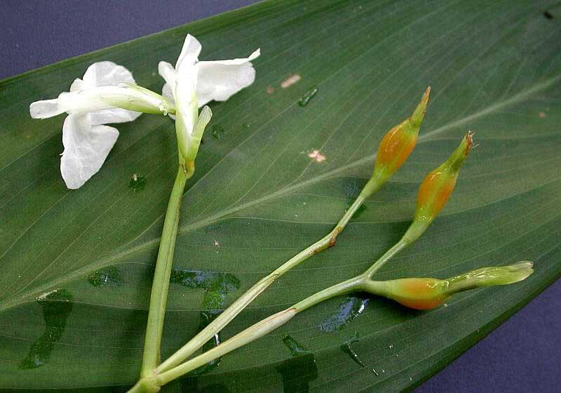 Maranta arundinacea / маранта очеретяна