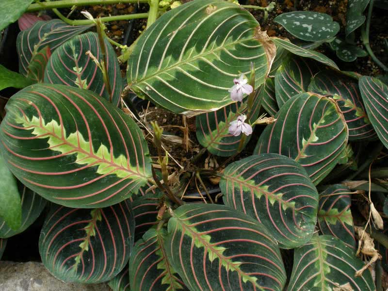 Maranta leuconeura / маранта біложильчата