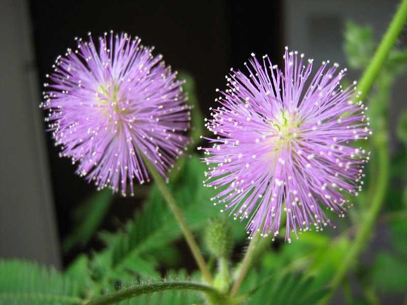 Mimosa pudica / мімоза сором'язлива