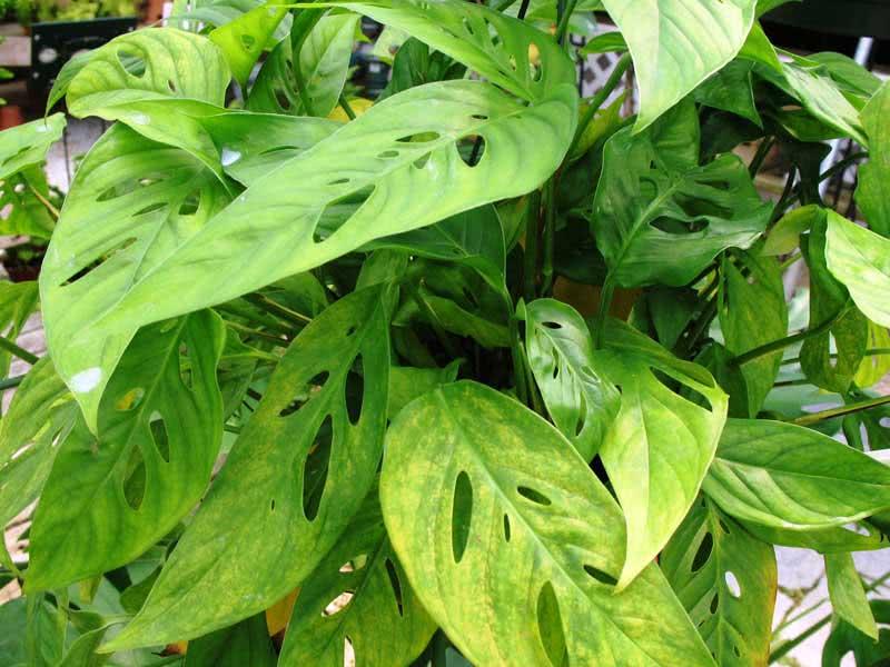 Monstera obliqua (expilata or falcifolia) / монстера коса (експілата або серповидна)