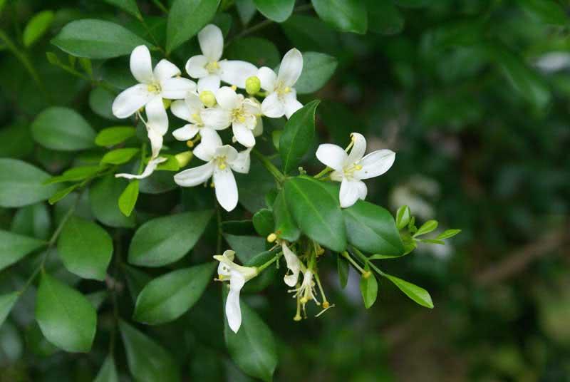 Murraya paniculata / мурайя метельчатая