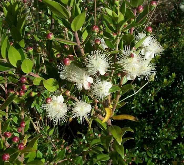Myrtus communis / мирт обыкновенный