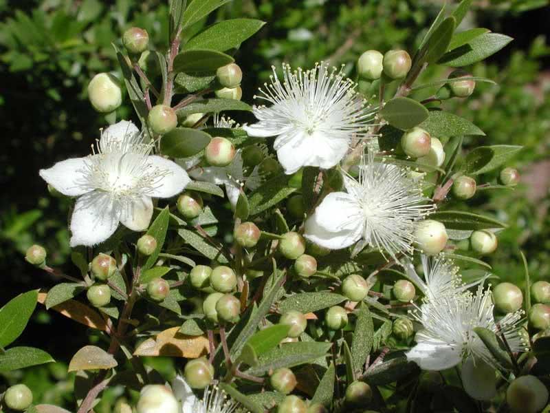 Myrtus communis / Мирт звичайний