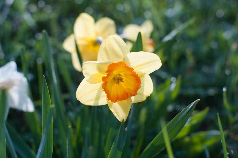 Narcissus jonquilla / нарцис Жонкілля