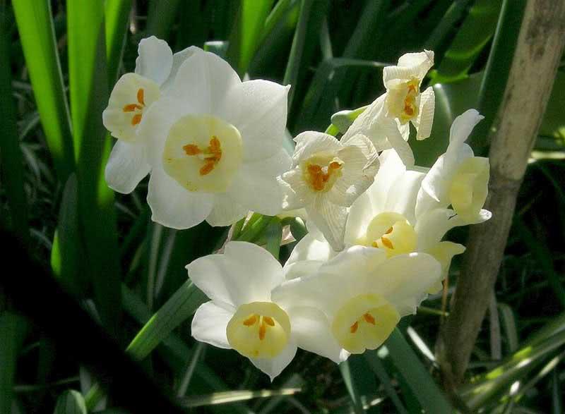 Narcissus poeticus / нарцис поетичний (білий)
