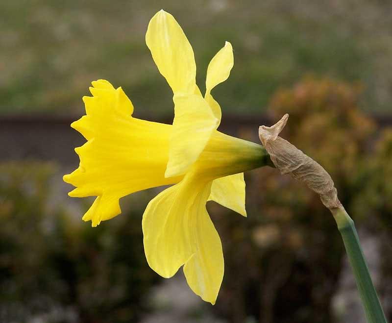 Narcissus pseudonarcissus / нарцис несправжній (жовтий)
