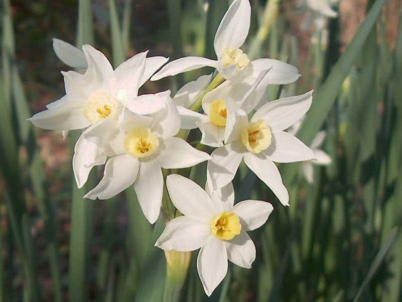 Narcissus tazetta / нарцис букетний (Тацетт)