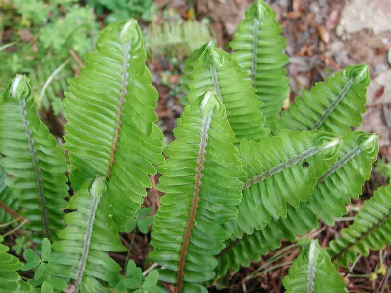Nephrolepis cordifolia / нефролепіс серцелистий