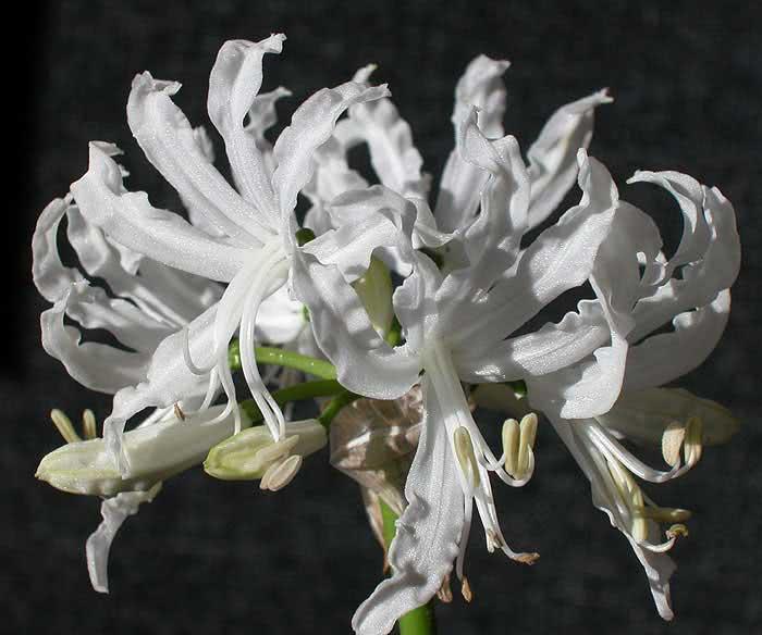 Nerine flexuosa / неріне звивиста