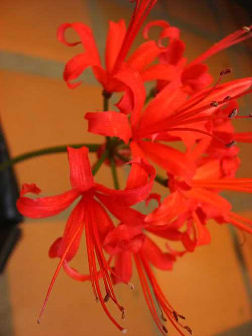 Nerine sarniensis / неріне сарнейська