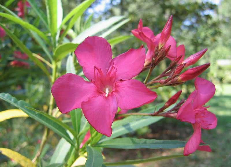 Nerium oleander (odorum or indicum) / олеандр обыкновенный (душистый или индийский)