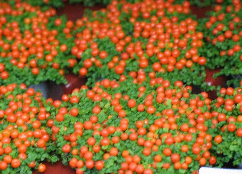 Nertera granadensis / Нертера гранадензіс (гранадська)