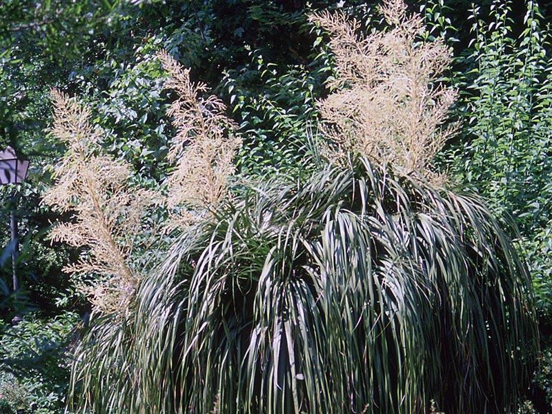 Nolina longifolia / нолина длиннолистая