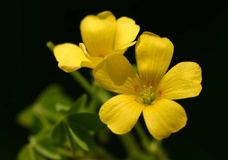 Oxalis corniculata / кислица рожковая