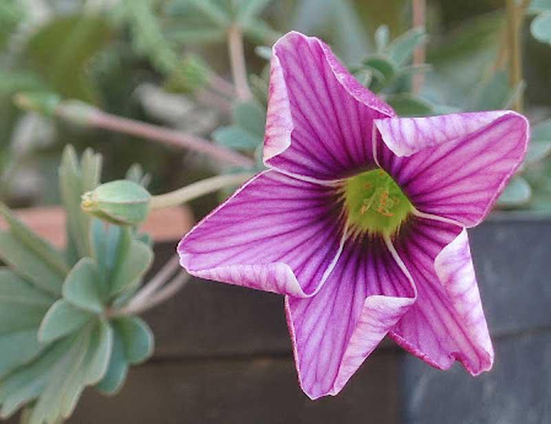 Oxalis enneaphylla / кислица девятилистная