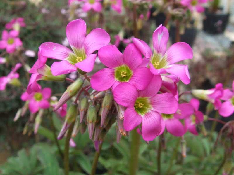 Oxalis lasiandra / кислица косматая (волосистотычиночная)