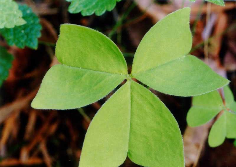 Oxalis obtriangulata / кислица обратнотреугольная