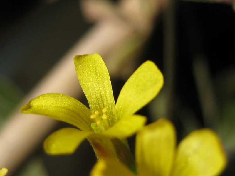 Oxalis ortgiesii / кислица Ортгиса