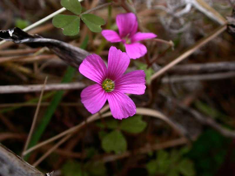 Oxalis rosea / кислица розовая (Клевер счастья)