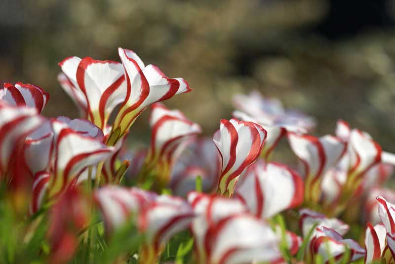 Oxalis versicolor / кислица разноцветная