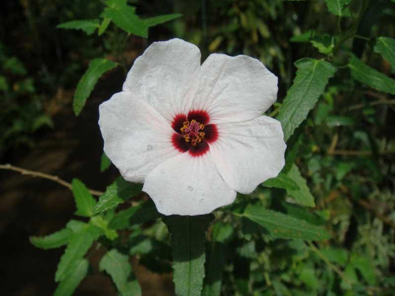 Pavonia hastata / Павонія списоподібна
