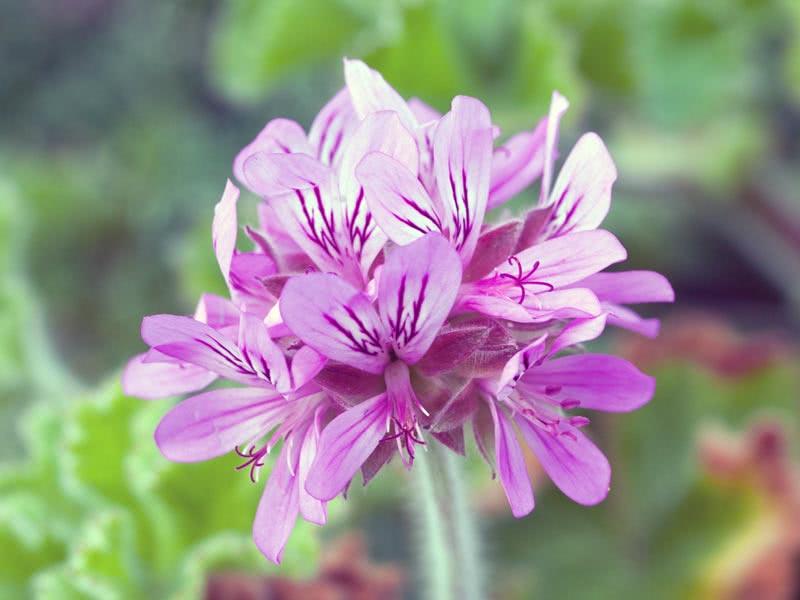 Pelargonium capitatum / пеларгония головчатая