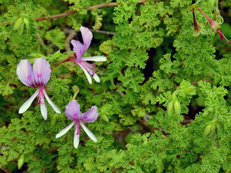 Pelargonium crispum / пеларгония курчавая